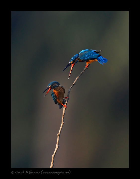 Common Kingfishers Fighting  | Fine Art | Creative & Artistic Nature Photography | Copyright © 1993-2017 Ganesh H. Shankar