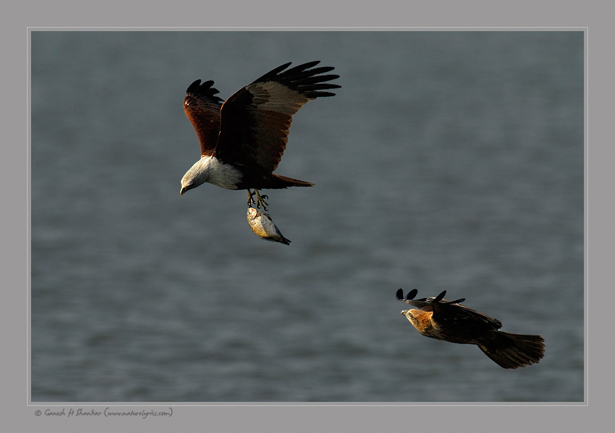 Brahmini Kites Fighting for a Fish | Fine Art | Creative & Artistic Nature Photography | Copyright © 1993-2016 Ganesh H. Shankar