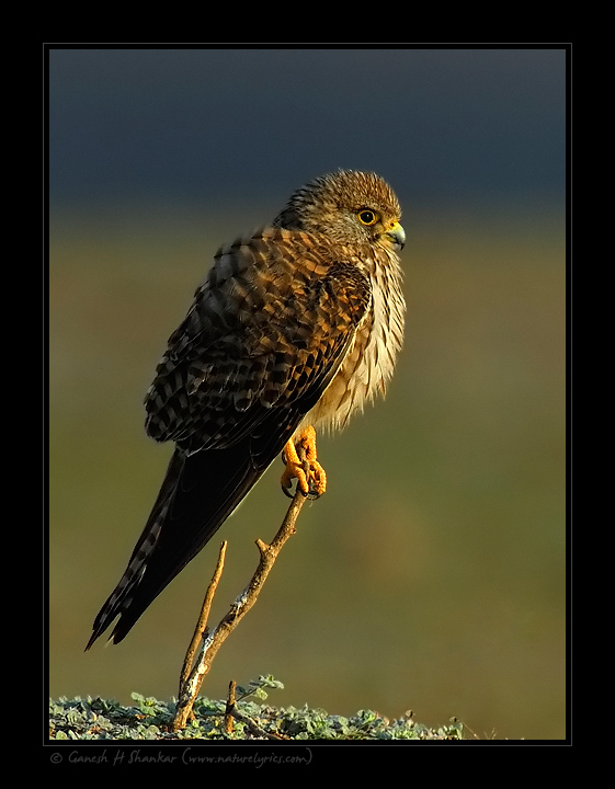 Common Kestrel - a Beautiful Portrait | Fine Art | Creative & Artistic Nature Photography | Copyright © 1993-2016 Ganesh H. Shankar