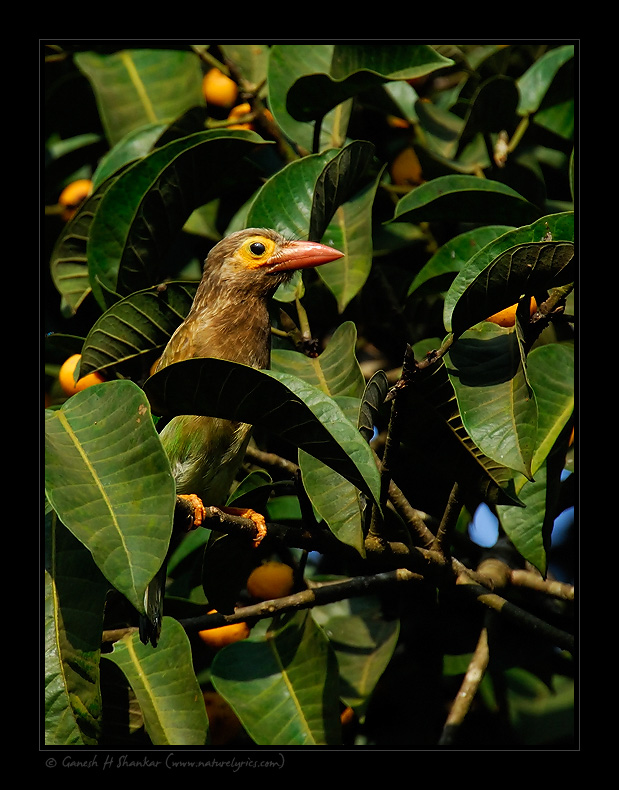 Large Green Barbet, Western Ghats | Fine Art | Creative & Artistic Nature Photography | Copyright © 1993-2017 Ganesh H. Shankar