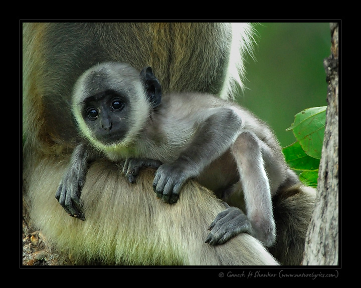 Langur with Baby | Fine Art | Creative & Artistic Nature Photography | Copyright © 1993-2017 Ganesh H. Shankar