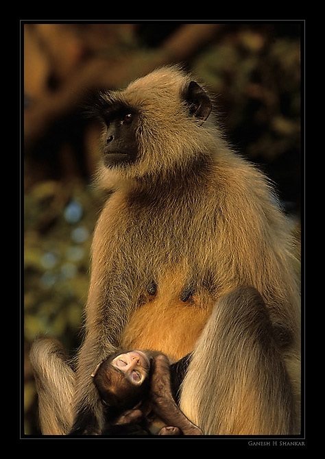 Langur Carrying its Dead Baby | Fine Art | Creative & Artistic Nature Photography | Copyright © 1993-2017 Ganesh H. Shankar