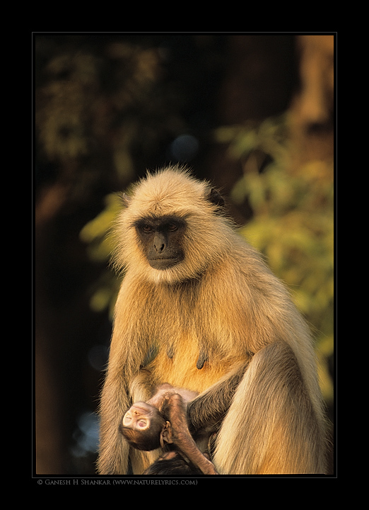 >Langur Carrying its Dead Baby | Nature Image | Nature Photography | Photo | Nature Pictures