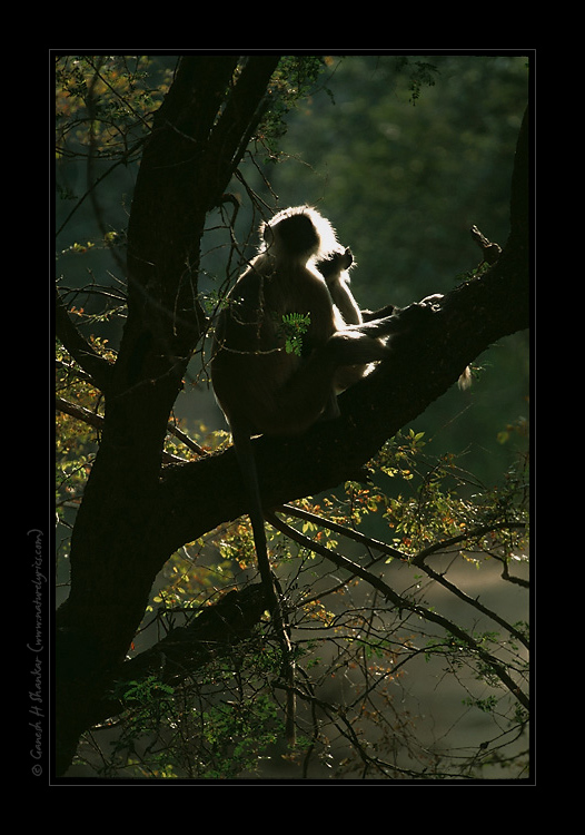 Langur in its habitat | Fine Art | Creative & Artistic Nature Photography | Copyright © 1993-2016 Ganesh H. Shankar