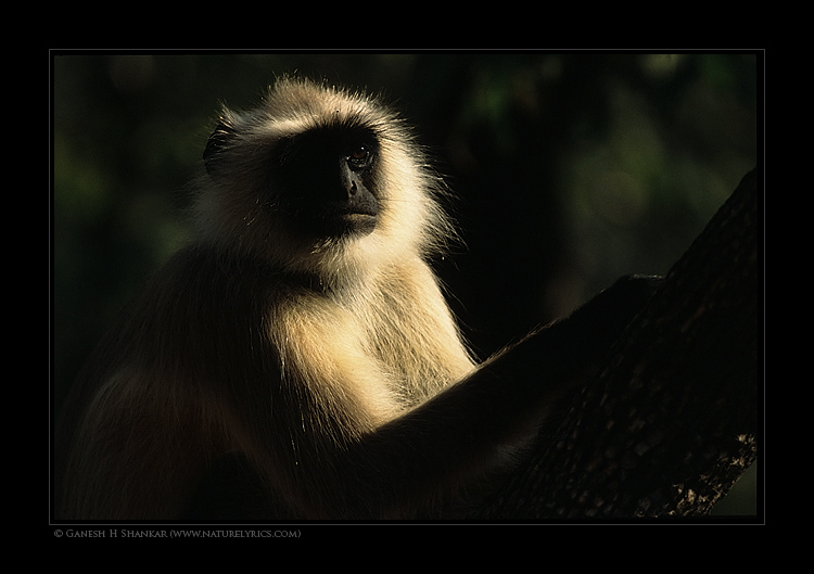 Langur Portrait | Fine Art | Creative & Artistic Nature Photography | Copyright © 1993-2017 Ganesh H. Shankar