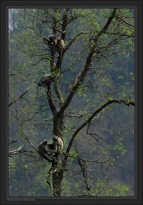 Langurs | Fine Art | Creative & Artistic Nature Photography | Copyright © 1993-2017 Ganesh H. Shankar