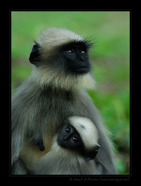 Langur and Baby | Fine Art | Creative & Artistic Nature Photography | Copyright © 1993-2016 Ganesh H. Shankar