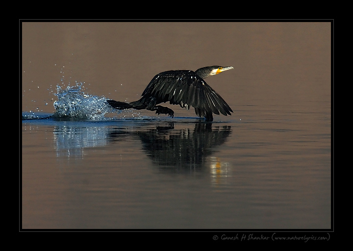 Large Cormorant Take Off | Fine Art | Creative & Artistic Nature Photography | Copyright © 1993-2017 Ganesh H. Shankar