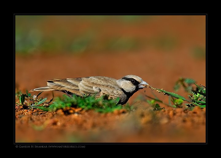 Ashy Crown Sparrow Lark | Fine Art | Creative & Artistic Nature Photography | Copyright © 1993-2017 Ganesh H. Shankar