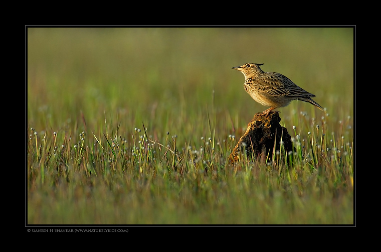 Crested Lark  | Fine Art | Creative & Artistic Nature Photography | Copyright © 1993-2017 Ganesh H. Shankar