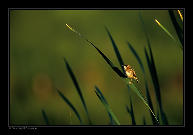 Zitting Cisticola | Fine Art | Creative & Artistic Nature Photography | Copyright © 1993-2017 Ganesh H. Shankar
