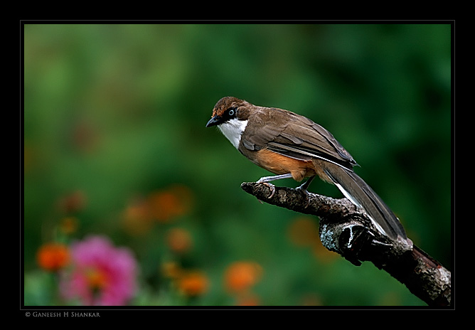 White Throated LaughingThrush | Fine Art | Creative & Artistic Nature Photography | Copyright © 1993-2017 Ganesh H. Shankar