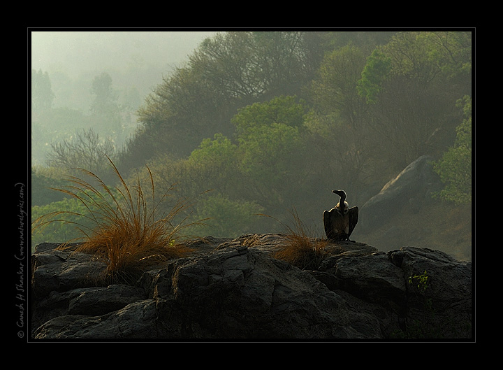 Indian Vulture in its beautiful habitat | Fine Art | Creative & Artistic Nature Photography | Copyright © 1993-2017 Ganesh H. Shankar