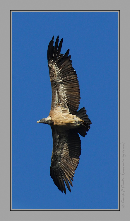 Indian Vulture Flight Profile | Fine Art | Creative & Artistic Nature Photography | Copyright © 1993-2017 Ganesh H. Shankar