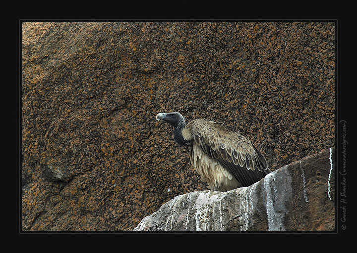 Indian Vulture | Fine Art | Creative & Artistic Nature Photography | Copyright © 1993-2017 Ganesh H. Shankar