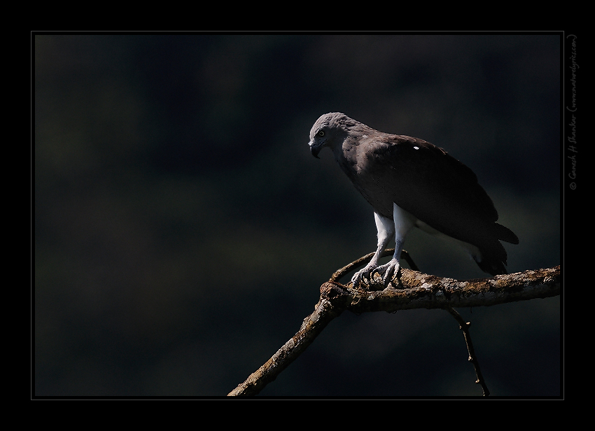 Lesser Fish Eagle, Western Ghats near Dandeli, India  | Fine Art | Creative & Artistic Nature Photography | Copyright © 1993-2017 Ganesh H. Shankar