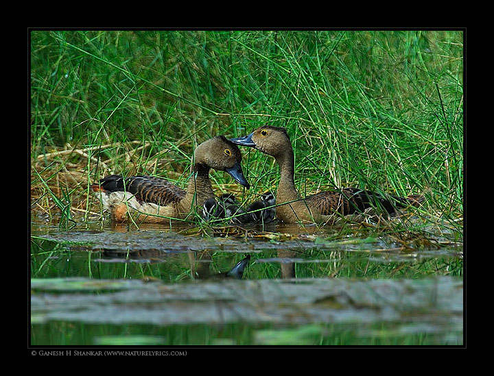 Lesser Whistling Duck | Fine Art | Creative & Artistic Nature Photography | Copyright © 1993-2017 Ganesh H. Shankar