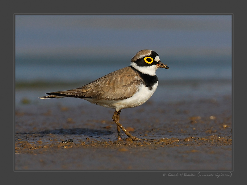 Little Ringed Plover - a beautiful portrait | Fine Art | Creative & Artistic Nature Photography | Copyright © 1993-2017 Ganesh H. Shankar