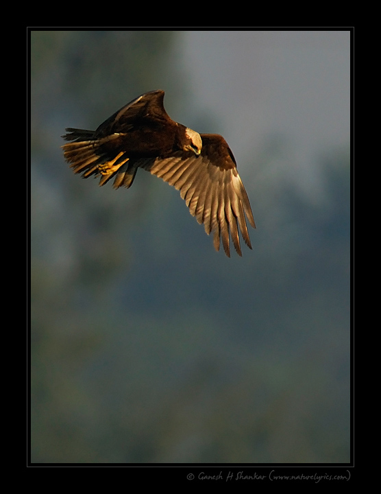Marsh Harrier | Fine Art | Creative & Artistic Nature Photography | Copyright © 1993-2017 Ganesh H. Shankar
