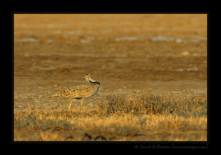 Macqueen's Bustard, Little Runn of Kutch, India. | Fine Art | Creative & Artistic Nature Photography | Copyright © 1993-2017 Ganesh H. Shankar