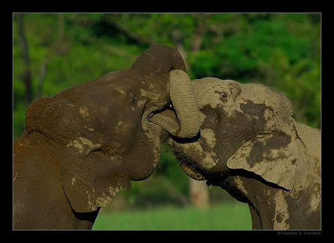 Elephants Mock Fight | Fine Art | Creative & Artistic Nature Photography | Copyright © 1993-2017 Ganesh H. Shankar