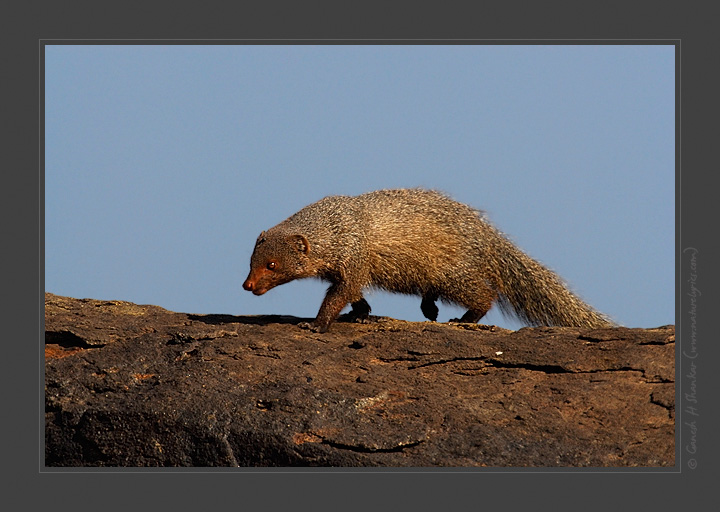 Mongoose on stone | Fine Art | Creative & Artistic Nature Photography | Copyright © 1993-2017 Ganesh H. Shankar