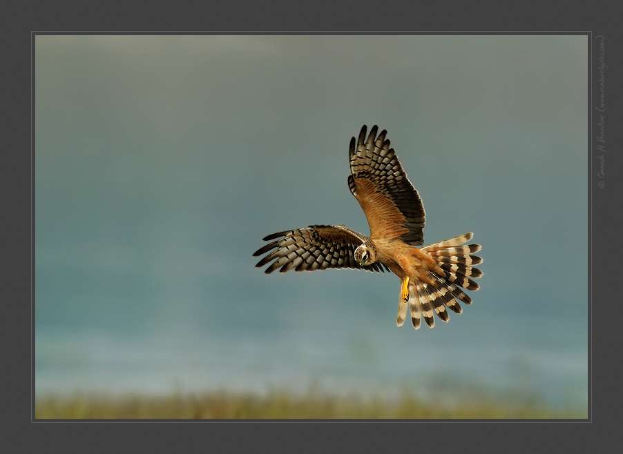 Montagu's Harrier, TG Halli | Fine Art | Creative & Artistic Nature Photography | Copyright © 1993-2016 Ganesh H. Shankar