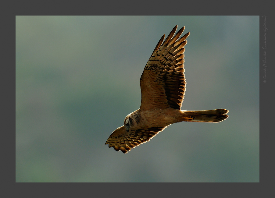 Montagu's Harrier in fligh, TG Halli | Fine Art | Creative & Artistic Nature Photography | Copyright © 1993-2016 Ganesh H. Shankar