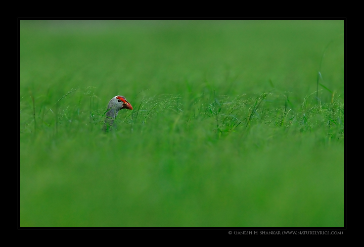 Purple Swamphen amidst grass | Fine Art | Creative & Artistic Nature Photography | Copyright © 1993-2017 Ganesh H. Shankar