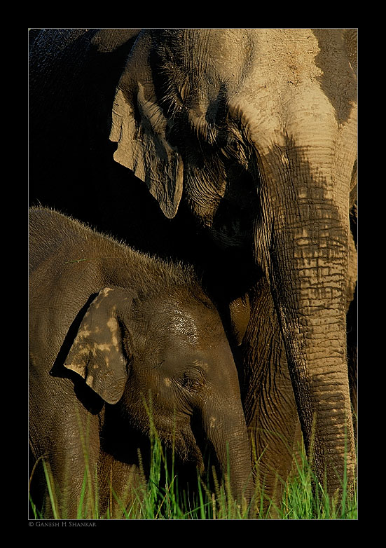Elephants - Mother and Calf | Fine Art | Creative & Artistic Nature Photography | Copyright © 1993-2017 Ganesh H. Shankar