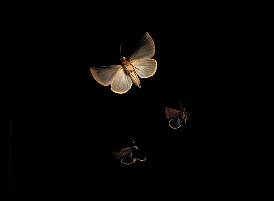 Moths in Flight | Fine Art | Creative & Artistic Nature Photography | Copyright © 1993-2017 Ganesh H. Shankar