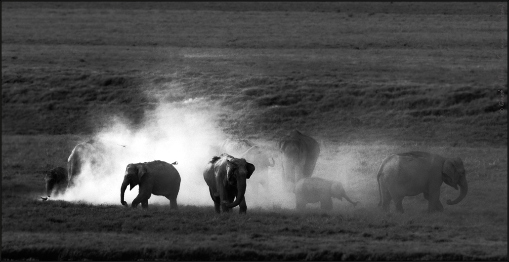 Mud Bath in monotone - Elephants in grassland - Corbett National Park | Fine Art | Creative & Artistic Nature Photography | Copyright © 1993-2017 Ganesh H. Shankar