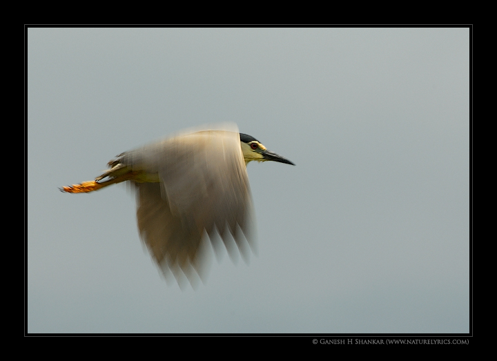 Night Heron in Flight, Ranganathittu Bird Sanctuary | Fine Art | Creative & Artistic Nature Photography | Copyright © 1993-2017 Ganesh H. Shankar