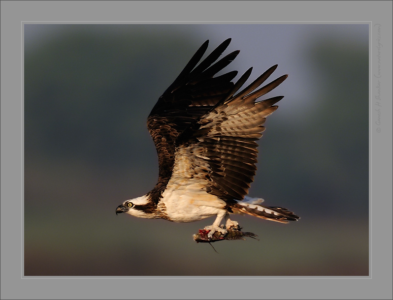 Osprey in Flight with fish | Fine Art | Creative & Artistic Nature Photography | Copyright © 1993-2017 Ganesh H. Shankar