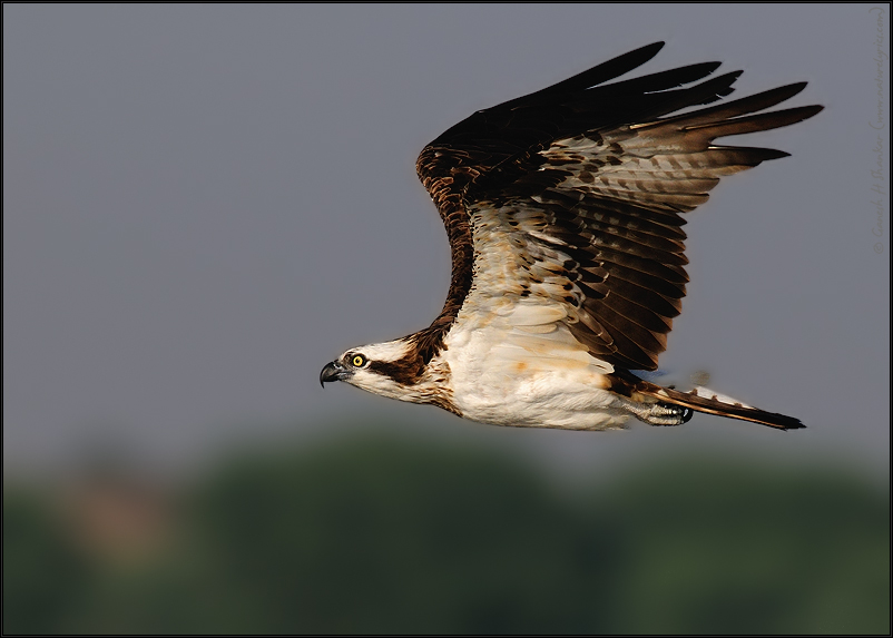 Osprey in Flight | Pandion Haliaetus | Fine Art | Creative & Artistic Nature Photography | Copyright © 1993-2017 Ganesh H. Shankar