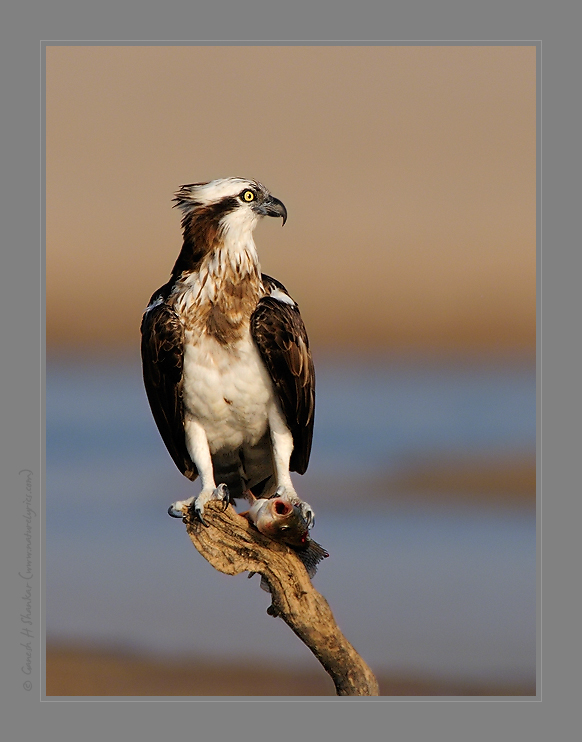 Osprey with Fish | Fine Art | Creative & Artistic Nature Photography | Copyright © 1993-2017 Ganesh H. Shankar