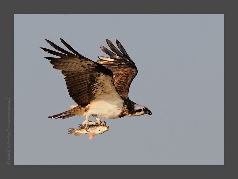 Osprey Flying with Fish | Fine Art | Creative & Artistic Nature Photography | Copyright © 1993-2017 Ganesh H. Shankar