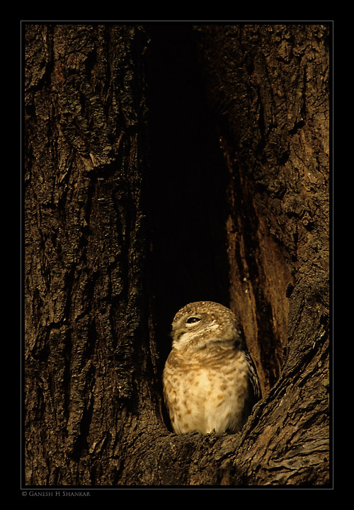 Spotted Owlett, Bharatpur Bird Sanctuary, India | Fine Art | Creative & Artistic Nature Photography | Copyright © 1993-2017 Ganesh H. Shankar