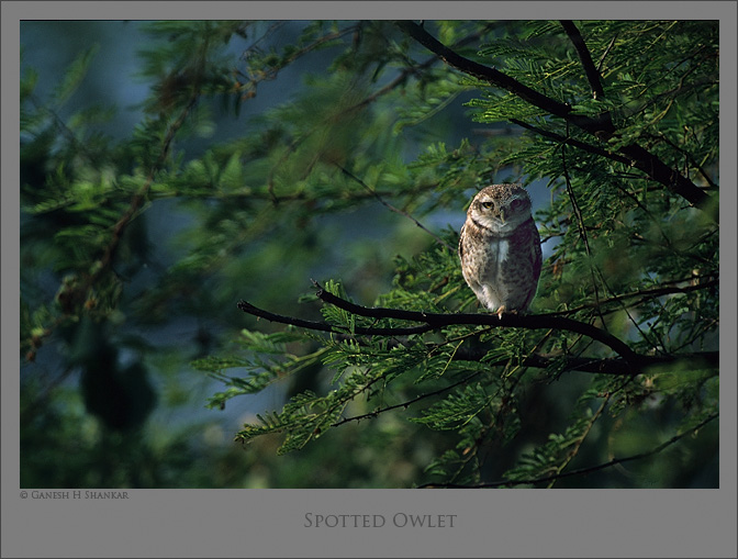 Spotted Owlet, Bharatpur Bird Sanctuary, India | Fine Art | Creative & Artistic Nature Photography | Copyright © 1993-2016 Ganesh H. Shankar
