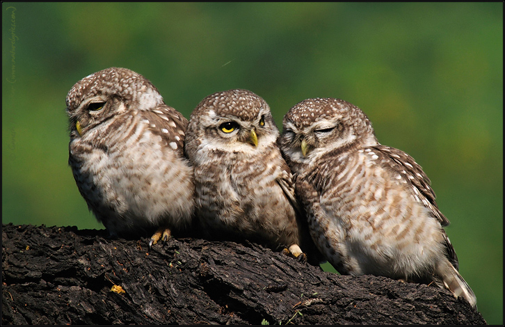 Spotted Owlets Expression Series 7 of 15 | Athene Brama | Fine Art | Creative & Artistic Nature Photography | Copyright © 1993-2017 Ganesh H. Shankar