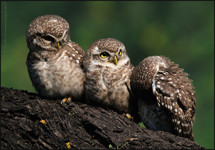 Spotted Owlets Expression Series 8 of 15 | Athene Brama | Fine Art | Creative & Artistic Nature Photography | Copyright © 1993-2016 Ganesh H. Shankar