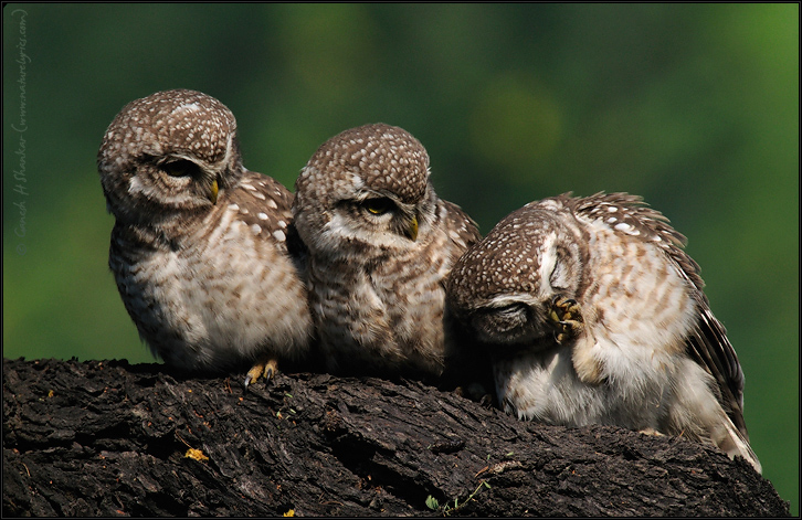 Spotted Owlets Expression Series 10 of 15 | Athene Brama | Fine Art | Creative & Artistic Nature Photography | Copyright © 1993-2017 Ganesh H. Shankar