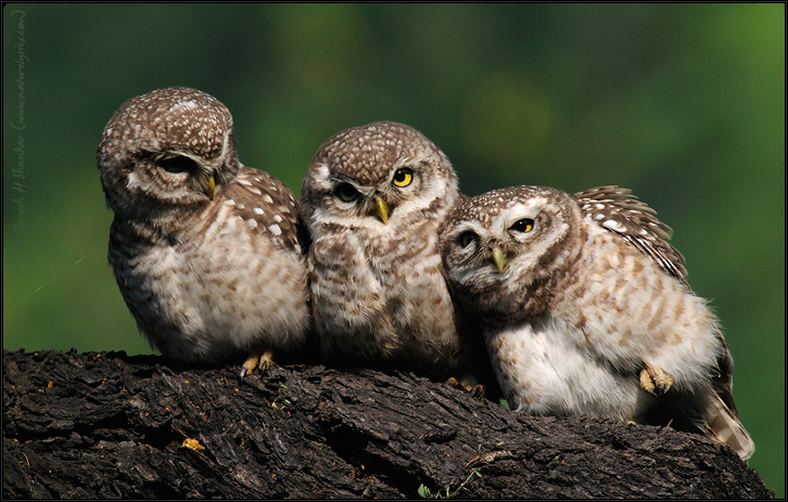Spotted Owlets Expression Series 11 o 15 | Athene Brama | Fine Art | Creative & Artistic Nature Photography | Copyright © 1993-2017 Ganesh H. Shankar