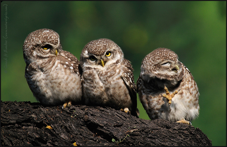 Spotted Owlets Expression Series 12 of 15 | Athene Brama | Fine Art | Creative & Artistic Nature Photography | Copyright © 1993-2017 Ganesh H. Shankar