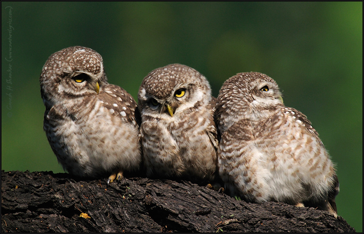 Spotted Owlets Expression Series 13 of 15 | Athene Brama | Fine Art | Creative & Artistic Nature Photography | Copyright © 1993-2017 Ganesh H. Shankar