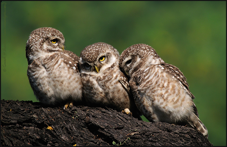 Spotted Owlets Expression Series 3 of 15 | Athene Brama | Fine Art | Creative & Artistic Nature Photography | Copyright © 1993-2017 Ganesh H. Shankar