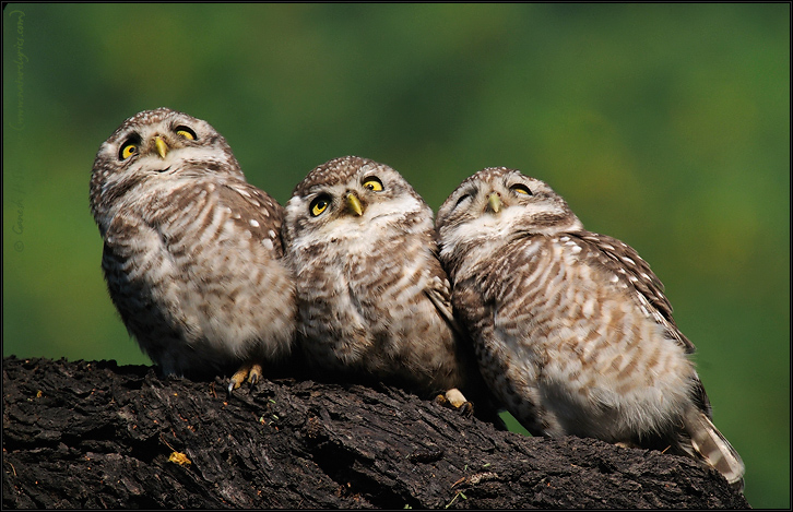 Spotted Owlets Expression Series 4 of 15 | Athene Brama | Fine Art | Creative & Artistic Nature Photography | Copyright © 1993-2017 Ganesh H. Shankar