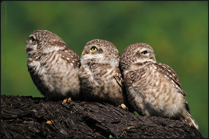 Spotted Owlets Expression Series 6 of 15 | Athene Brama | Fine Art | Creative & Artistic Nature Photography | Copyright © 1993-2017 Ganesh H. Shankar