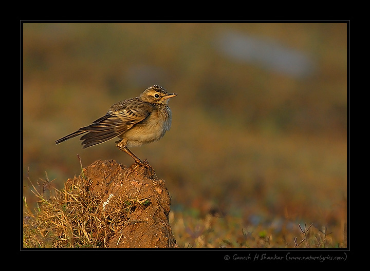 Paddy-field Pipit | Fine Art | Creative & Artistic Nature Photography | Copyright © 1993-2017 Ganesh H. Shankar