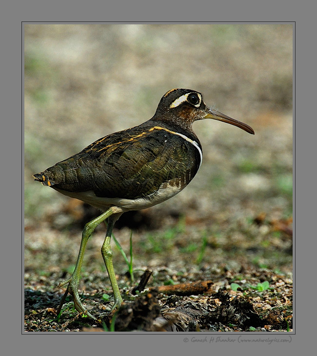 Painted Snipe | Fine Art | Creative & Artistic Nature Photography | Copyright © 1993-2016 Ganesh H. Shankar